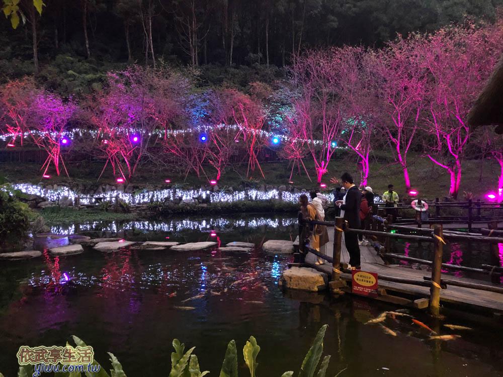 2020九族櫻花祭-夜櫻