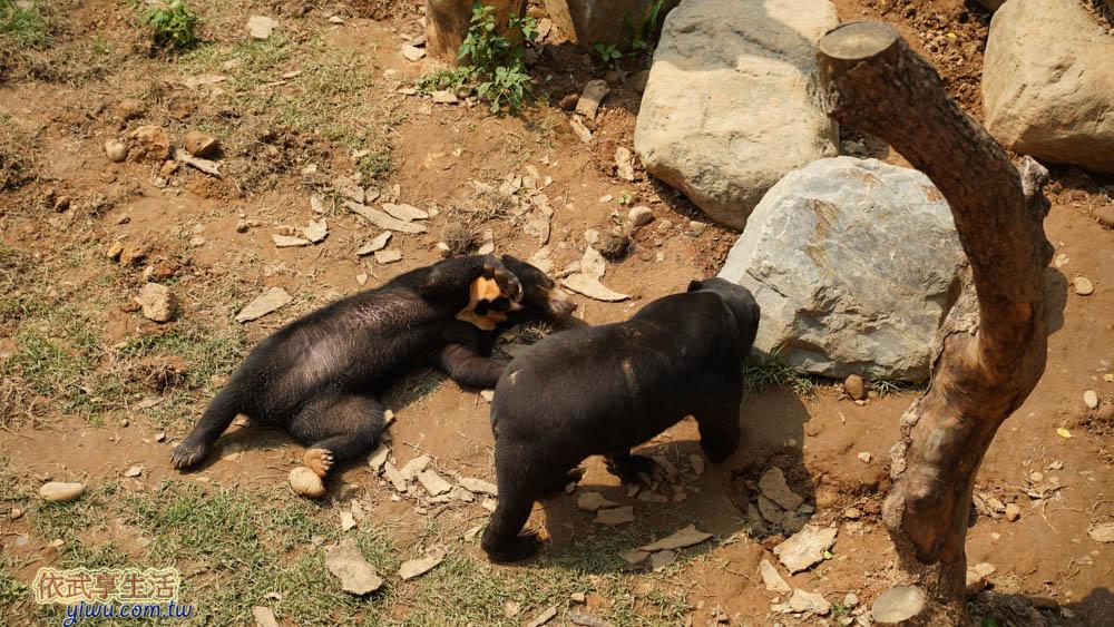 新竹市立動物園馬來熊