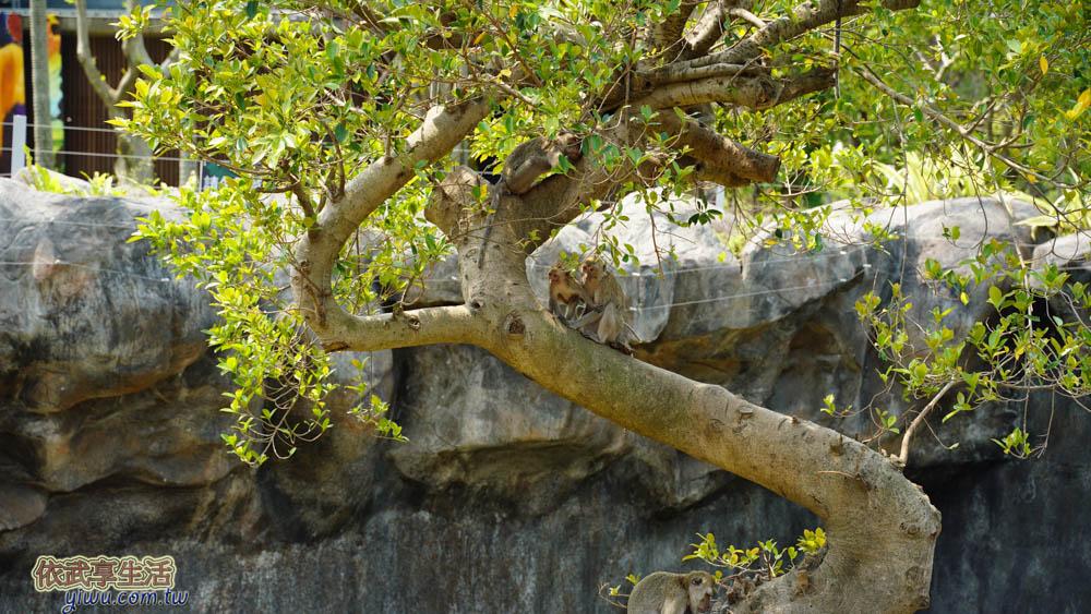 新竹市立動物園馬來猴
