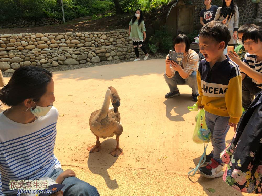 新竹市立動物園的鵝