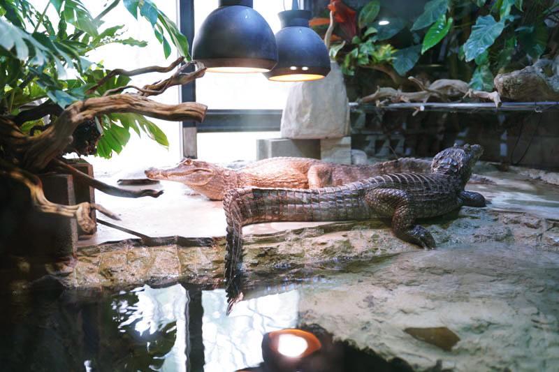 新竹台灣昆蟲館鱷魚