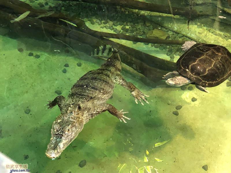 新竹台灣昆蟲館烏龜跟鱷魚