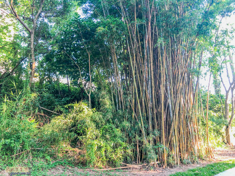 新竹明湖公園竹林
