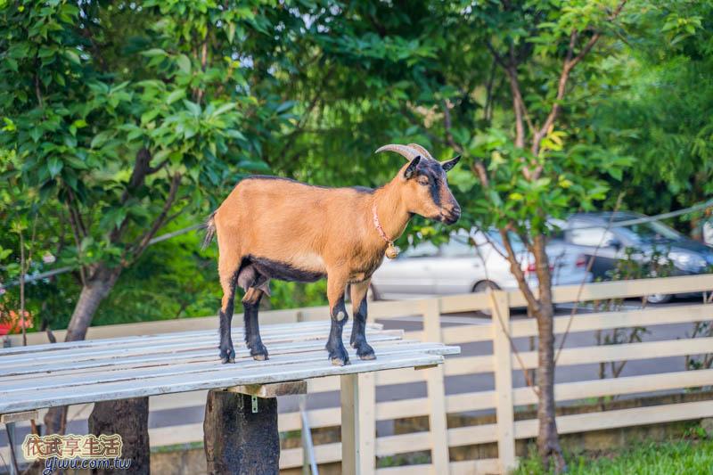 愛家農場羊