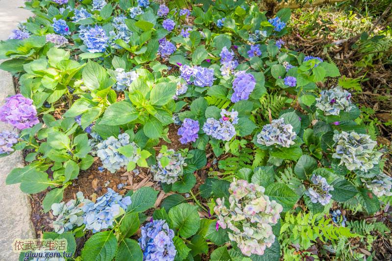 尖石薰衣草森林繡球花