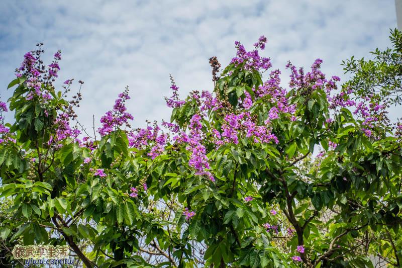 新竹民族公園紫色的花