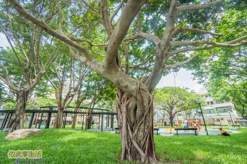 新竹民族公園大榕樹
