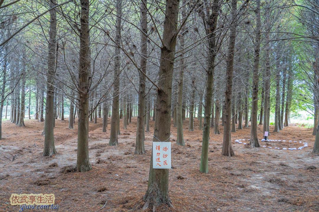 八德落羽松森林