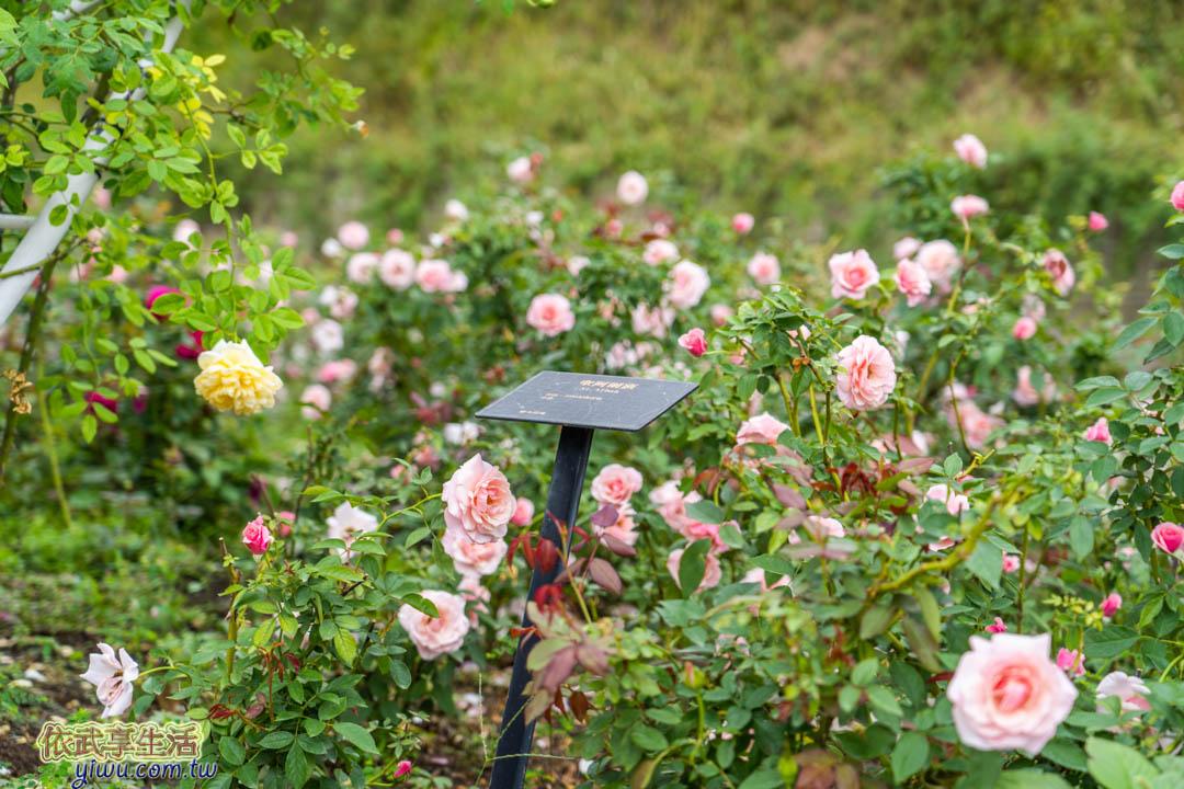 雅聞七里香玫瑰森林