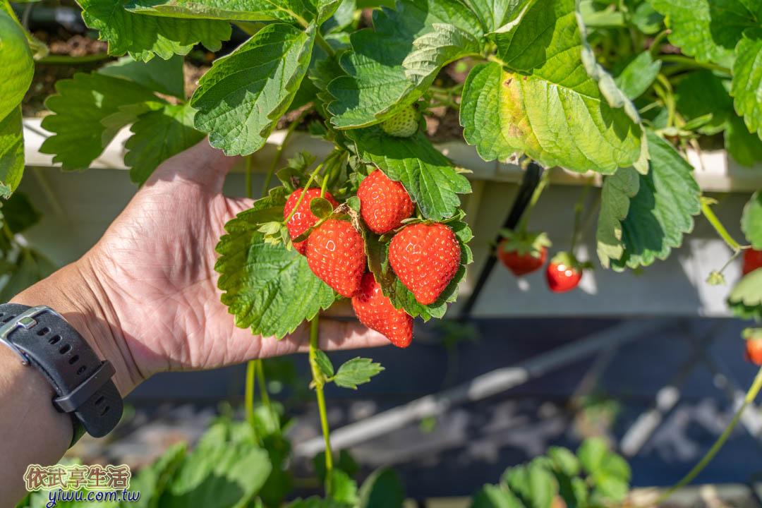 大湖草莓品種