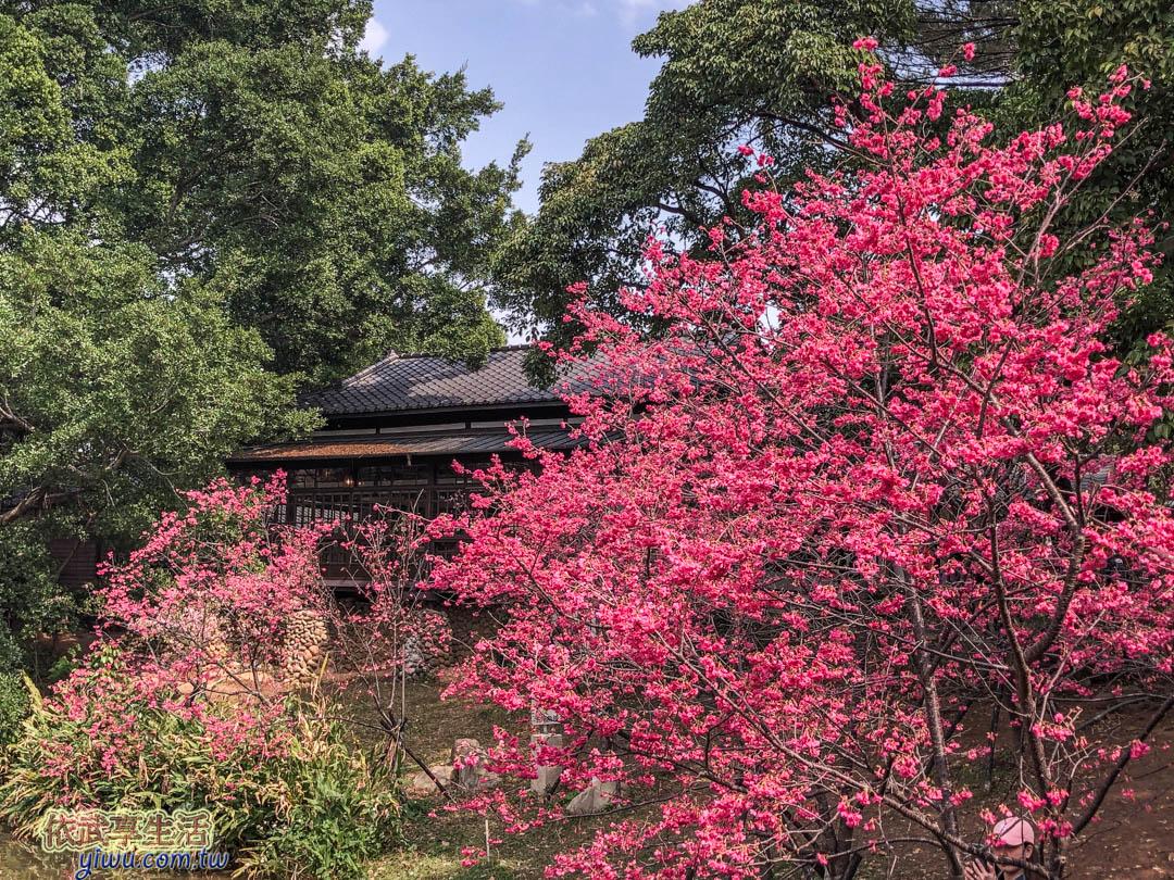 新竹公園櫻花季賞櫻